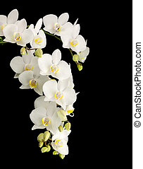 White phelanopsis orgchid on black background