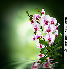 white orchids - background