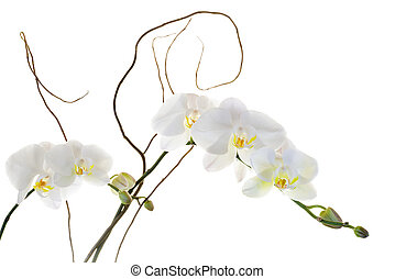 White orchids with yellow centers isolated on a white background