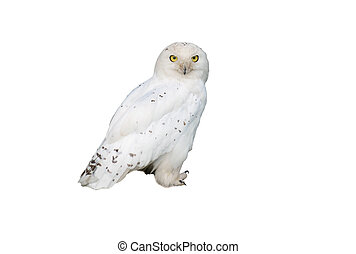 white owl perched on stump of tree