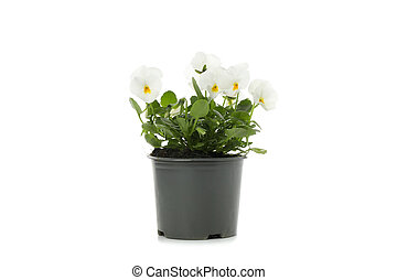 White pansies in flower pot isolated on white background