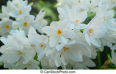white Paperwhite Narcissus Flower in bloom in spring