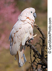 White Parrot - White African Parrot