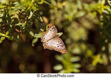 White peacock butterfly, Anartia jatrophae