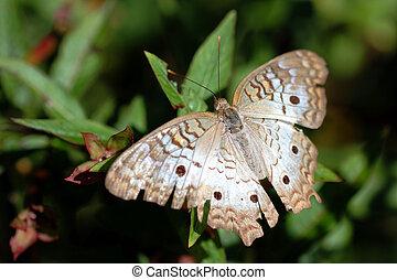 White Peacock butterfly- Anartia Jatrophae