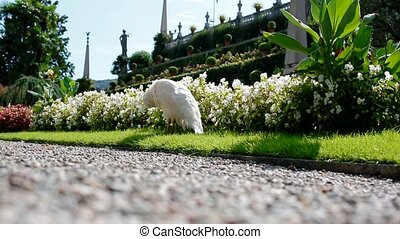 White peacock cleans plumage - White peacock on Isola Bella...
