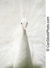 White peacock closeup