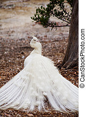White peacock looking over shoulder