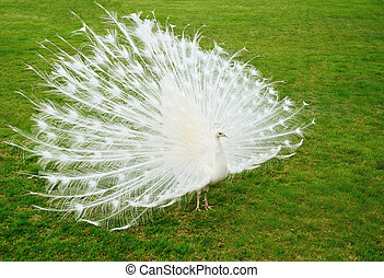 White peacock on green background