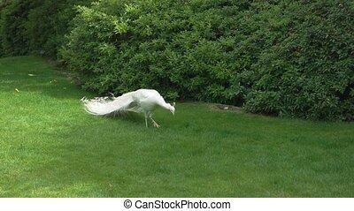 White peacock pecking grass. Bird outdoor, summer.