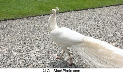 White peacock walking outdoor. Beautiful bird with long...