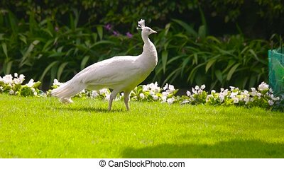 White peafowl and peachick outdoor. Birds on the lawn,...