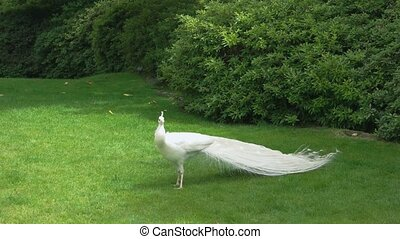White peafowl on green lawn.