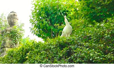 White peafowl, summer nature. - White peafowl summer nature....