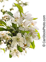 White pear blossom in spring
