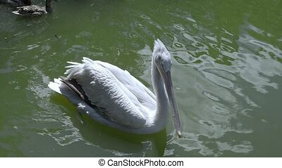 White Pelican Bird Swims in lake at day