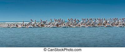 White Pelican Colony Panoramic Shot