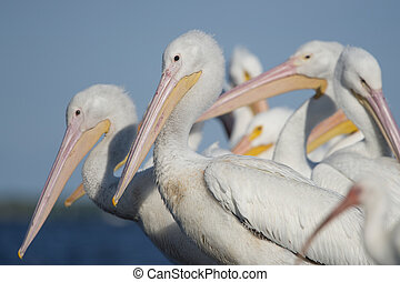 White Pelican Group