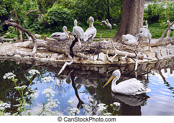White pelican group at the lake with reflection