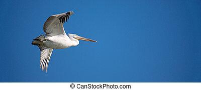 White pelican in flight - Flying white pelican against blue...