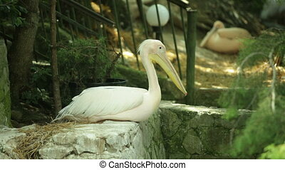 White pelican in zoo