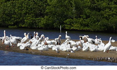 White Pelican on a sandbar - White Pelican, Pelecanus...