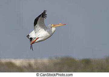 White Pelican (Pelecanus erythrorhynchus) in Flight - Texas