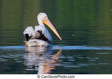 White Pelican (Pelecanus erythrorhynchos) swimming in a lake