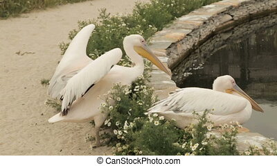 White pelican sits near the pool - White pelican with a...