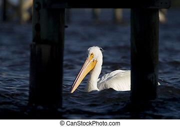 White Pelican Spotlight