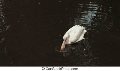 white Pelican swimming in the lake, around a lot of big stones