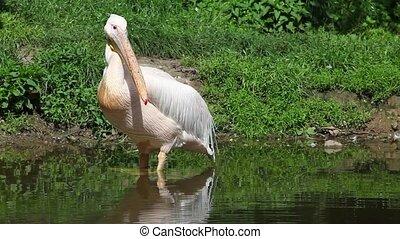 White pelican in the river