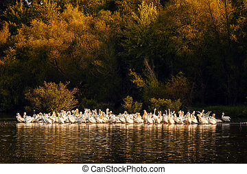 White Pelicans at Sunset in Missouri