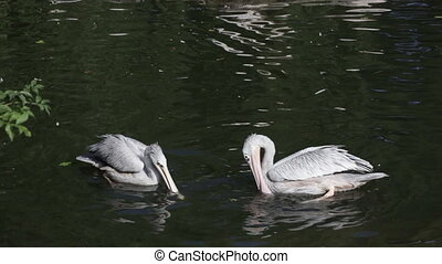Group of pelicans fishing in natural pond at sunny day