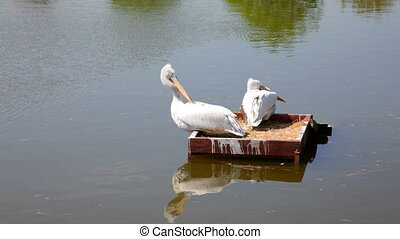 White pelicans floating in park lake