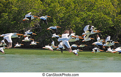 White pelicans flying over water - White pelicans (pelecanus...