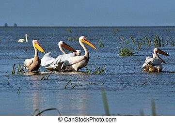 white pelicans in the Danube delta - Great white pelicans in...
