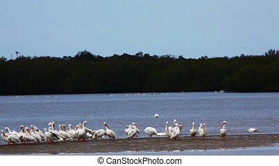 White Pelicans in the Everglades - White Pelican, Pelecanus...