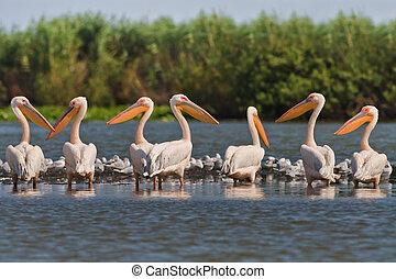 white pelicans (pelecanus onocrotalus) - a group of pelicans...