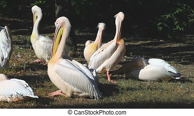 white pelicans sitting on the river bank