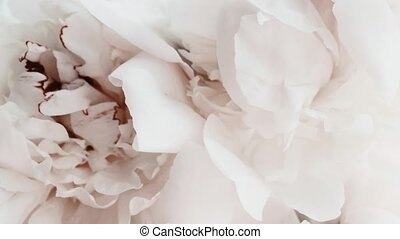 White peonies in bloom, pastel peony flowers as holiday, ...