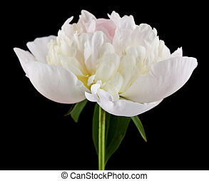 White peonies isolated on a black background close-up.