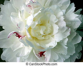Close-up of a variegated white and pink peony blossom