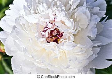 white peony close up