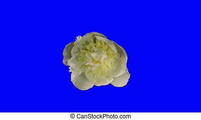 White Peony Flowering Chroma Key