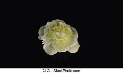 White Peony Flowering Timelapse