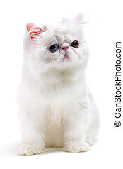 white persian cat isolated on white background