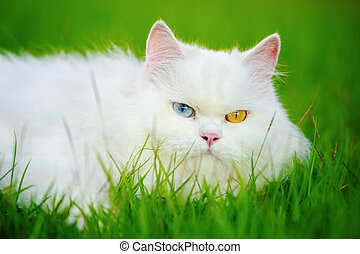 white Persian cat with 2 different-colored eyes (heterocromatic eyes) on grass field