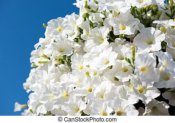 White petunia flowers on bright blue sky background