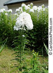 White phlox flower